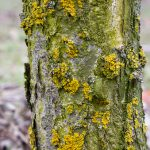 The fruit tree trunk of the apple tree is covered with moss and cracked bark which damages the tree and kills it by giving it to develop fungal diseases and infections. The onset of black cancer.