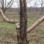 Affected by the fungus of black cancer tree, disease sphaeropsis malorum peck apple tree from which wounds of branches and trunk are formed. A tree that dies from a fungal infection.